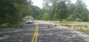 geese crossing copy