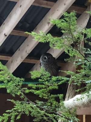 grey owl resting on a branch